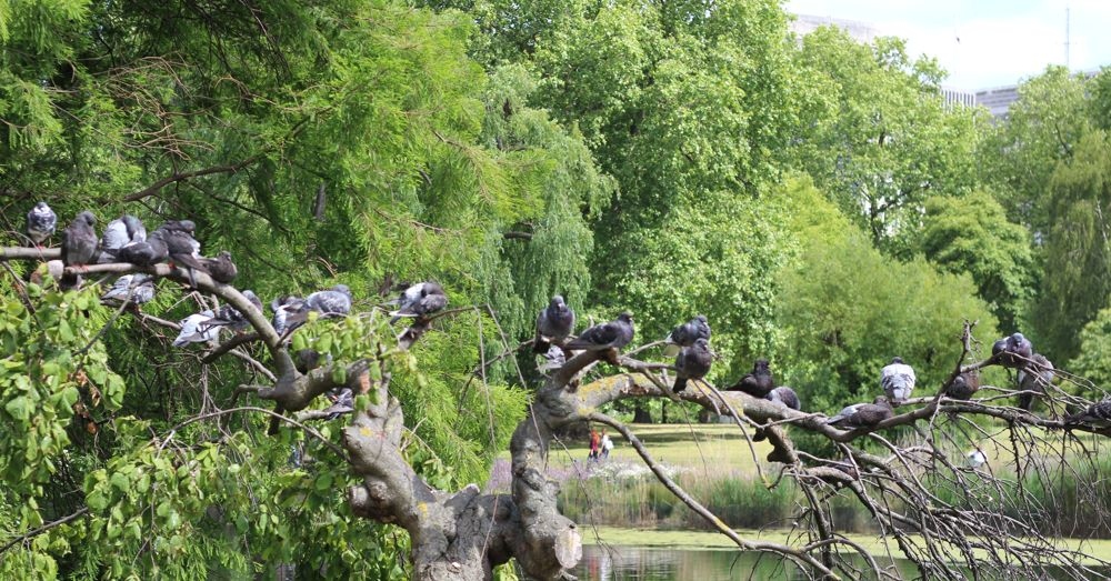 Pigeons in St. James's Park