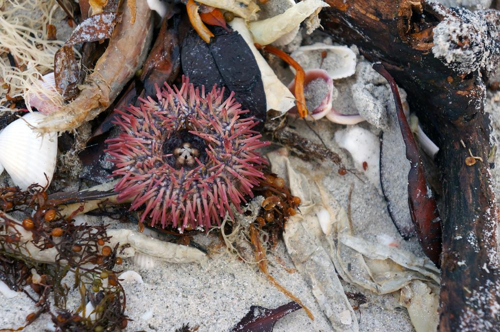 IOA_Captiva_Urchin.jpg