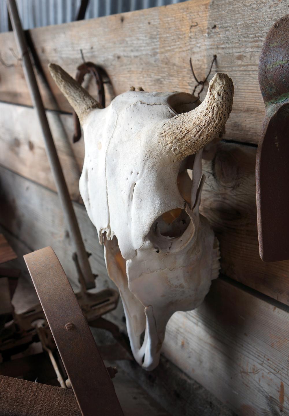 IOA_Antelope_Bison_Skull.jpg