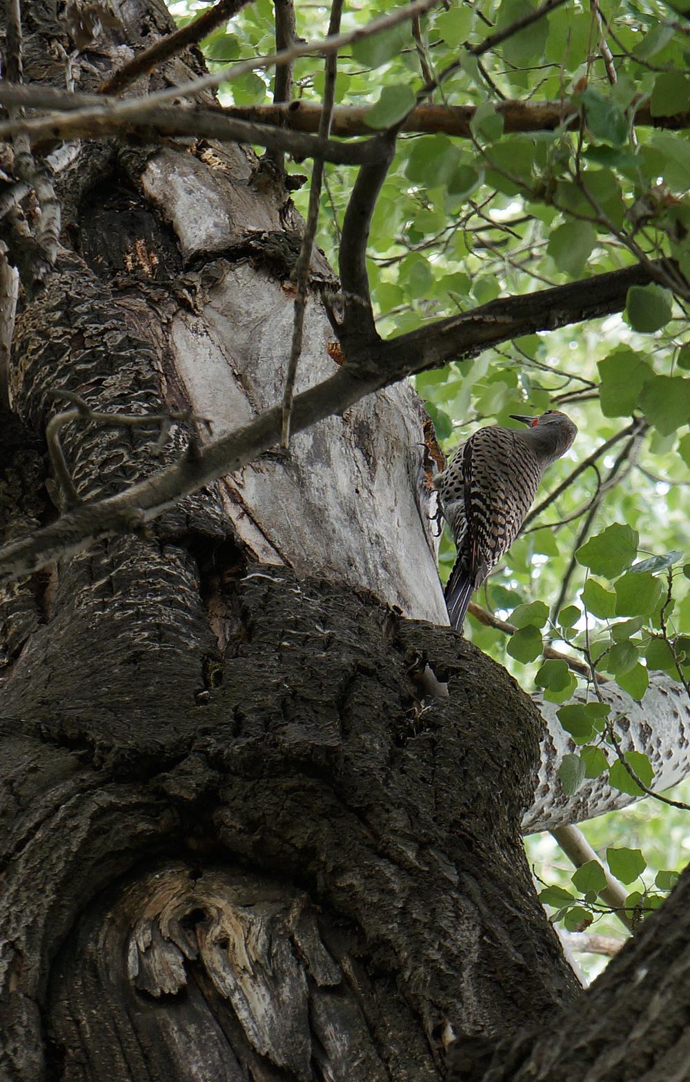 IOA_Antelope_Woodpecker.jpg