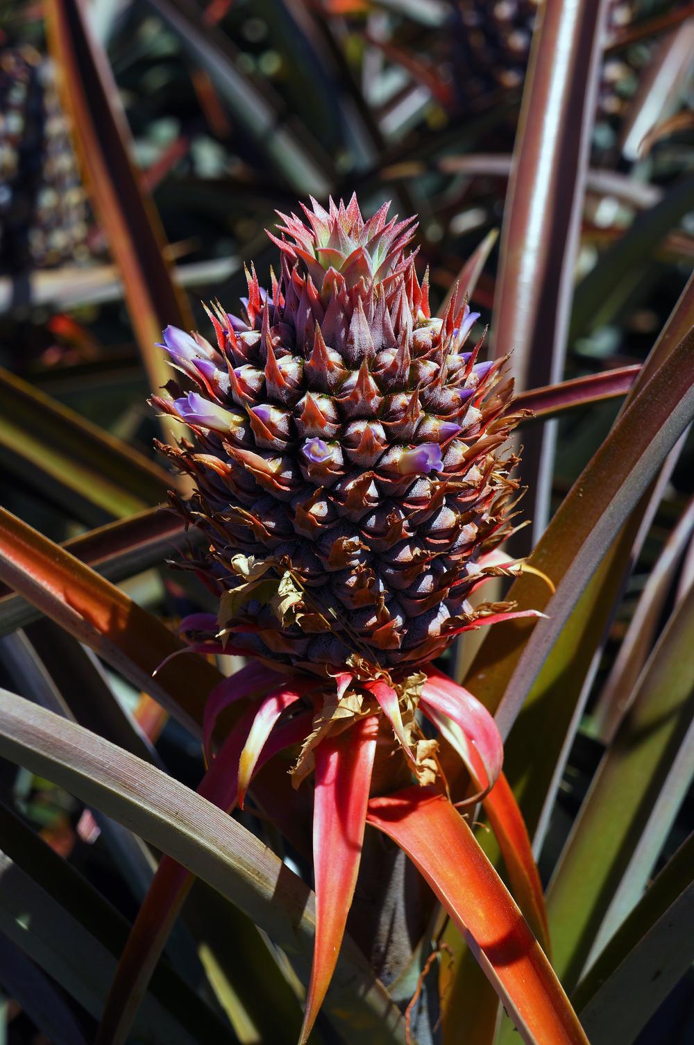 IOA_Maui_Pineapple_Blossom_2.jpg