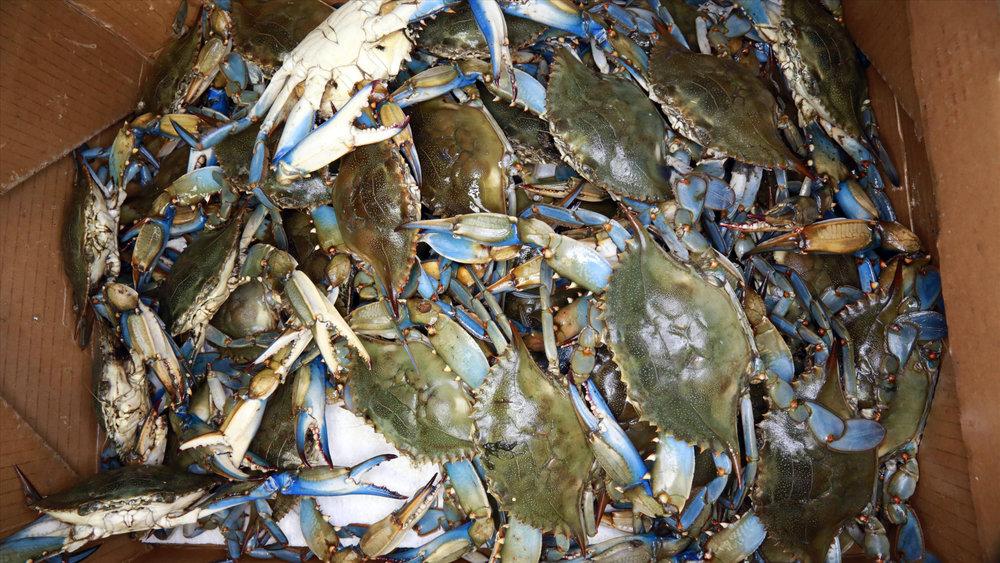 Live Blue Crabs.jpg