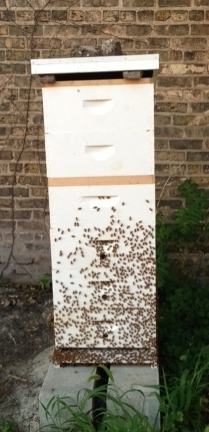 One of our 2 very busy beehives.
