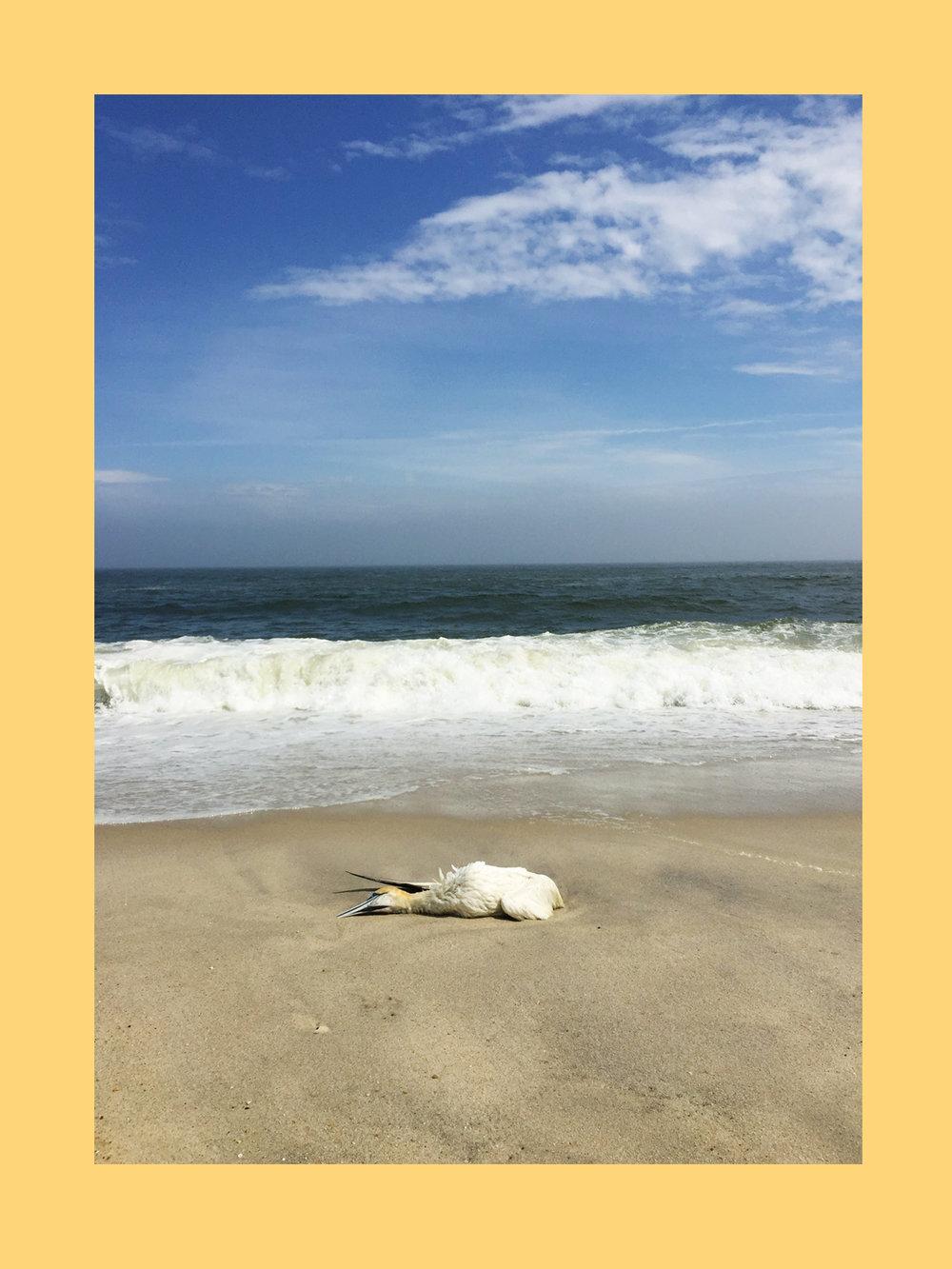 amy_chen_design_sandy_hook_beach_clean_dead_northern_gannet_frame.JPG