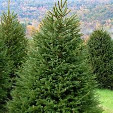 Bildergebnis für Picea abies