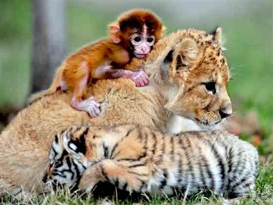 tiger-monkey.jpg