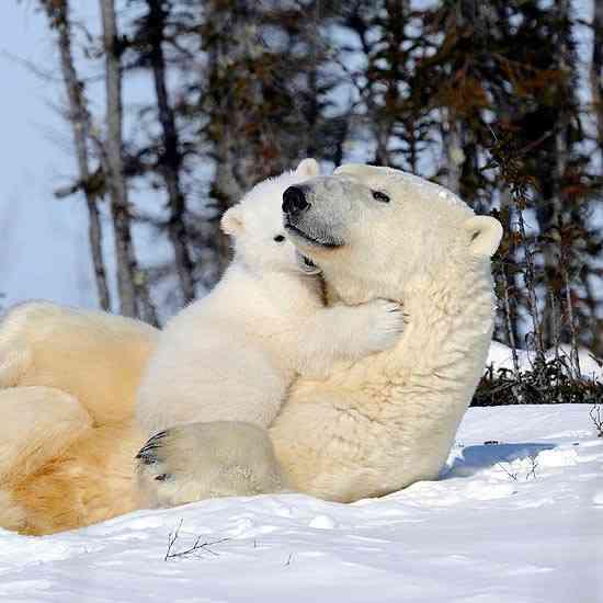 polar-bears.jpg.644x0_q100_crop-smart.jpg