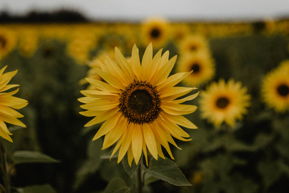 ashley_schulman_photography_sunflower_field-3.jpg