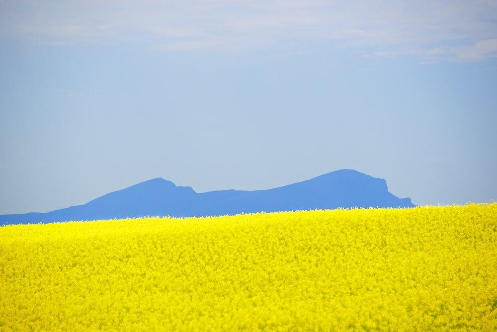 Spring Canola (9).jpg