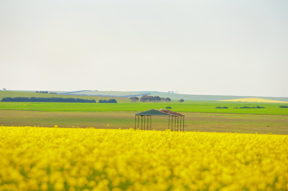 Spring Canola (4).jpg
