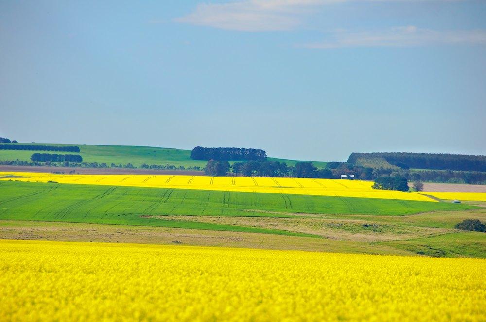 Spring Canola (2).jpg