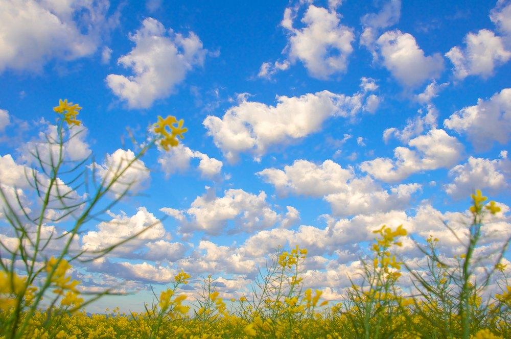 Spring Canola (1).jpg