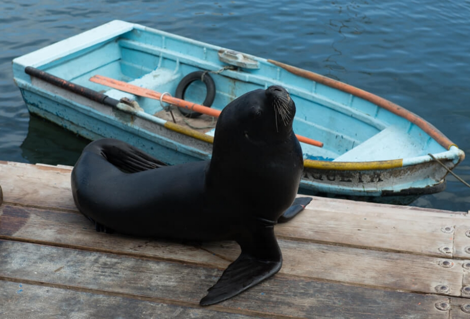 Sea Lions undisturbed by humans at the Port