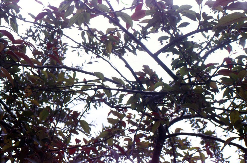 cherrytree1.jpg