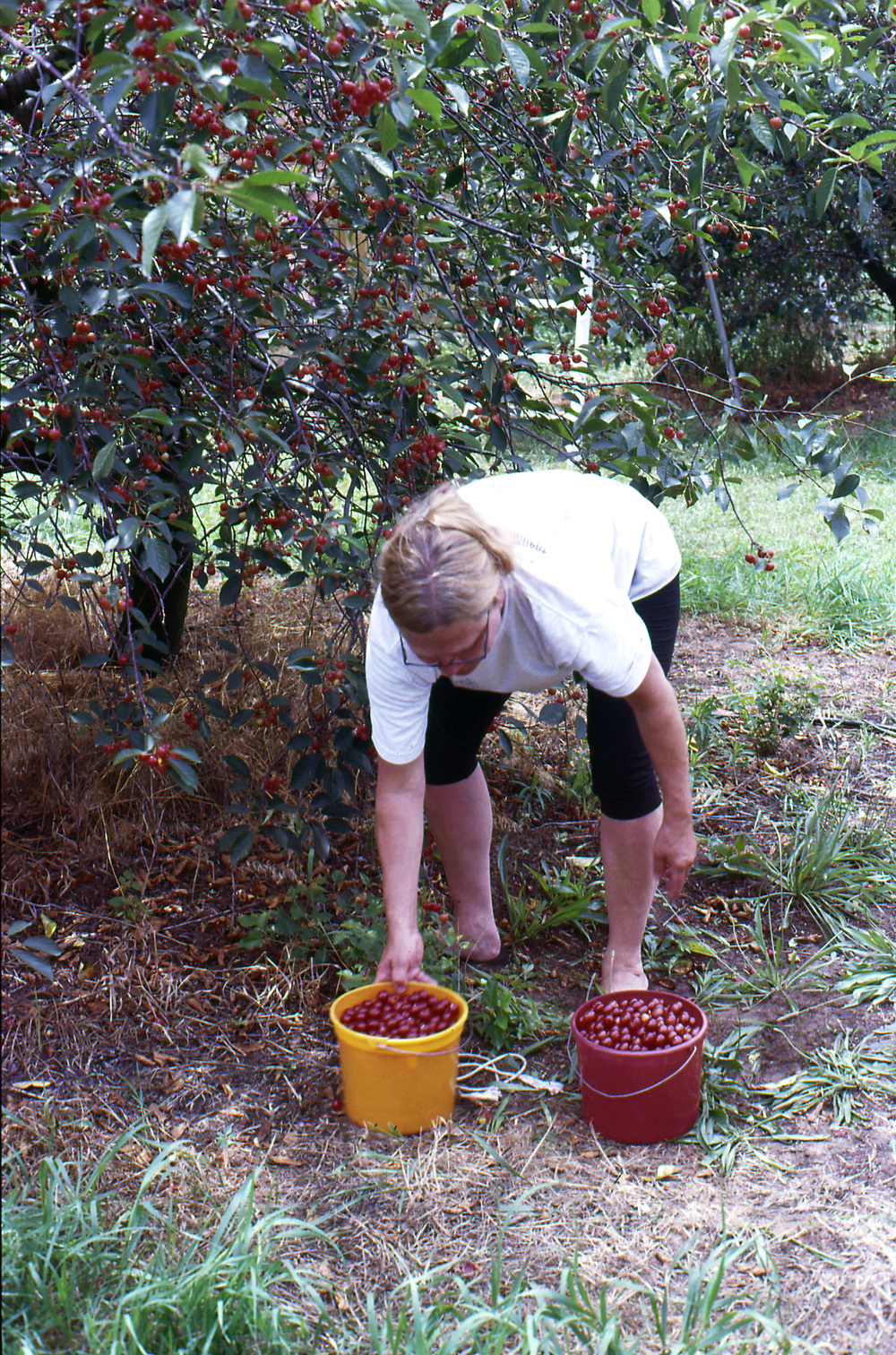 mom picking cherries.jpg