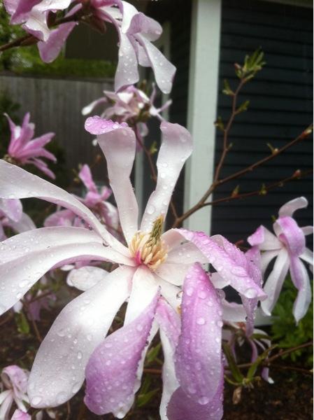 magnolia dobbin.jpg
