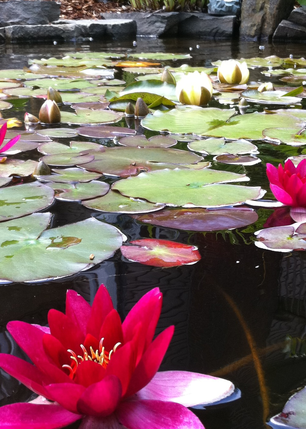 red water lilies.jpg