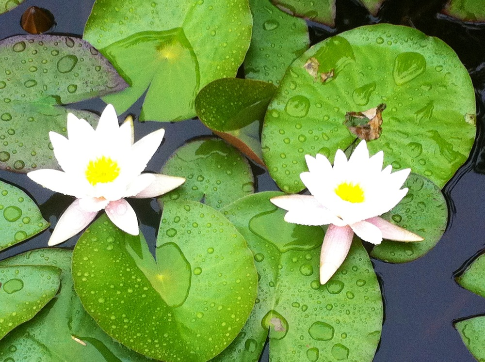 white water lilies.jpg