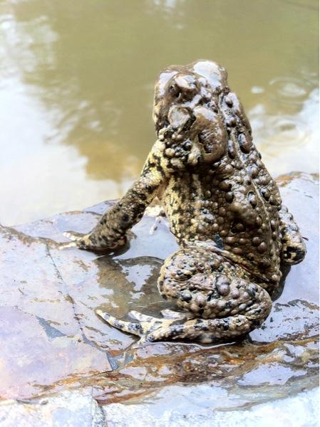 bc frog.jpg