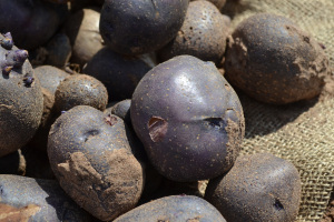 These purple potatoes are part of the research potato trials.