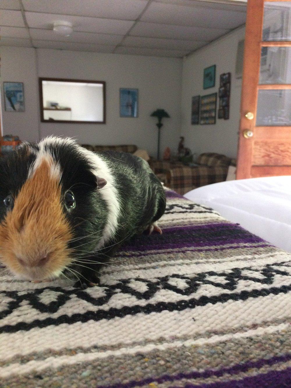 Erin's guinea pig - Prints.