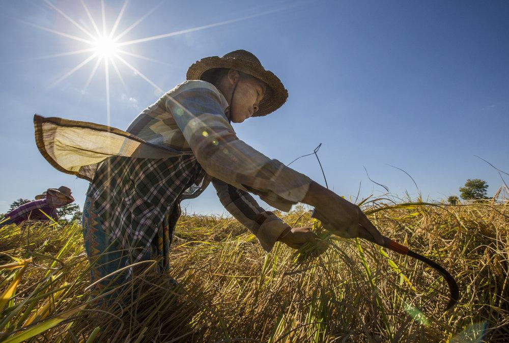 Harvesting rice in Myanmar's central dry zone.