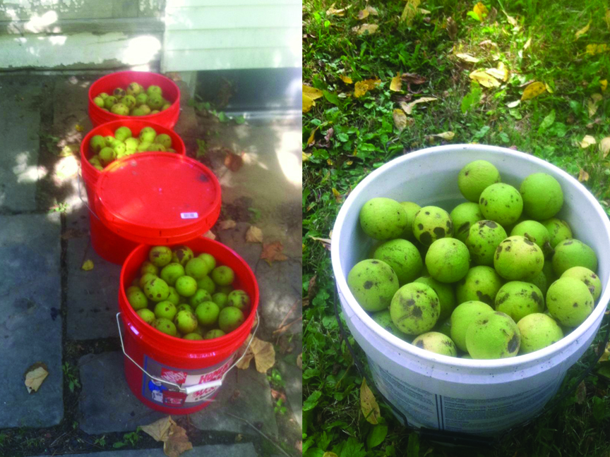 Raw Material – 15 gallons of american black walnuts, still in the husk