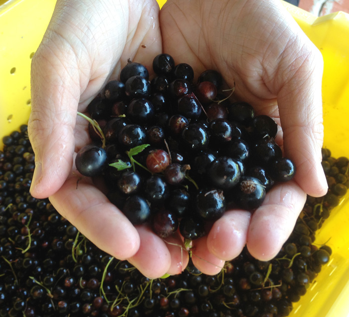 Black Currants for Lincoln Peak's Cassis