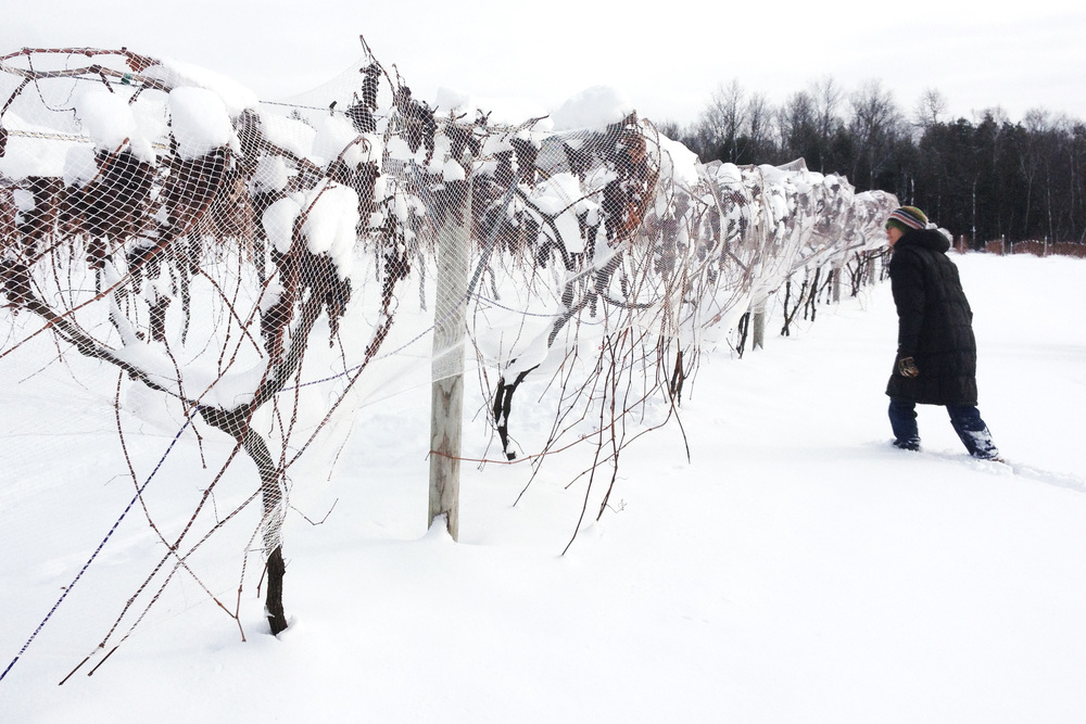 Ice Wine Grapes at Lincoln Peak Vineyard