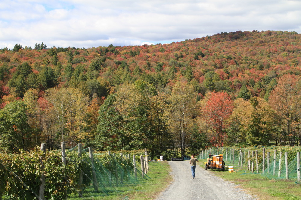 Vermont Vineyards Mean Vermont Foliage