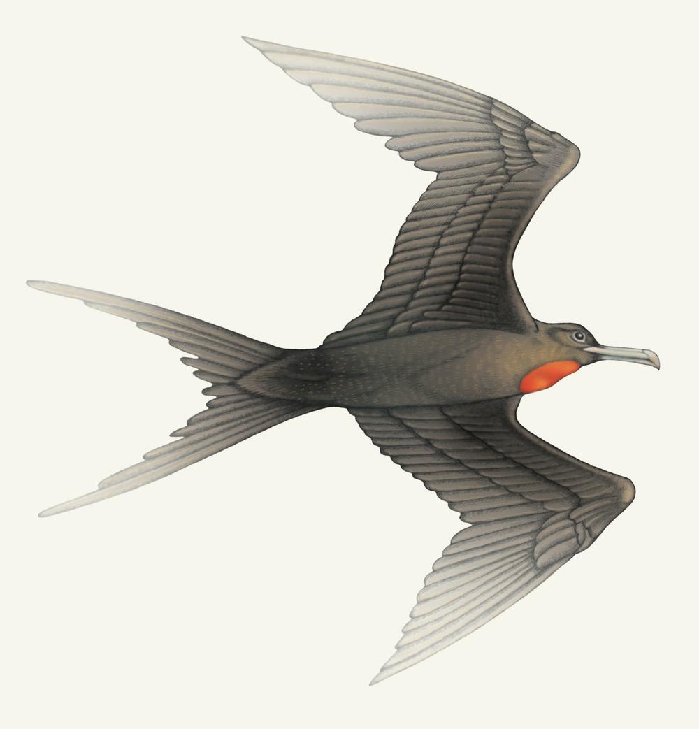 Frigate-Bird.jpg