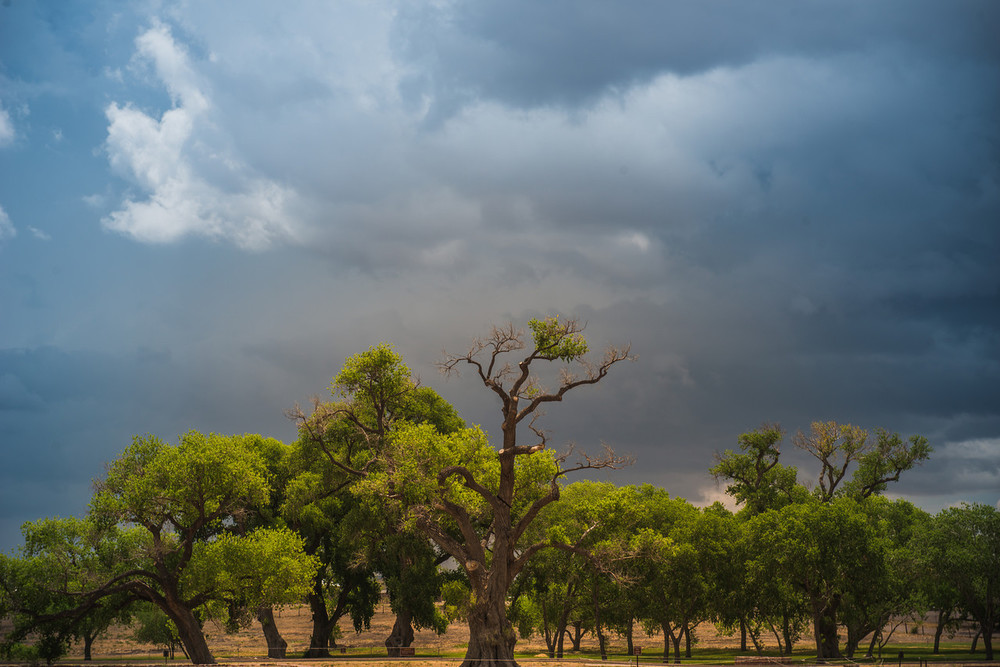 300 year old trees.Fort Davis, Texas.