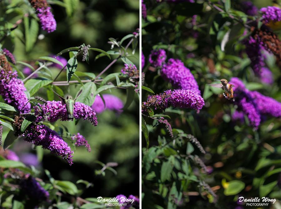 portlanddrouhinwinerybirdphotography