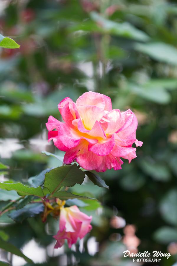 roseportlandflowertravelstreetphotographer