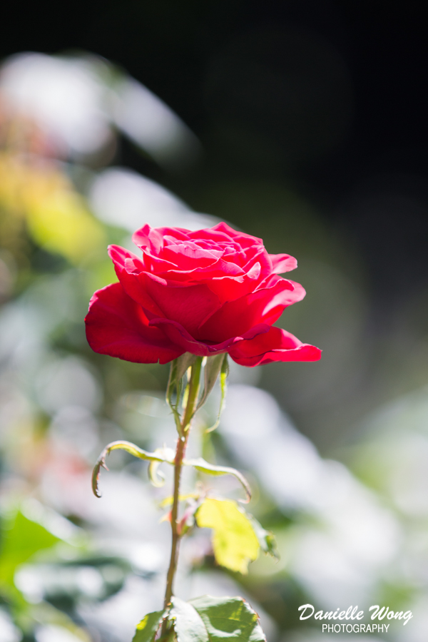 roseportlandflowertravelstreetphotography