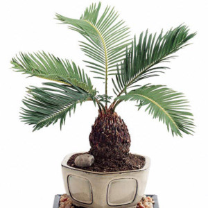 sago palm is poisonous to dogs