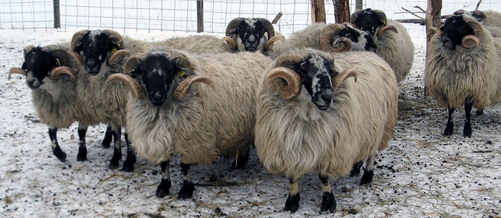 Winter Rams.jpg