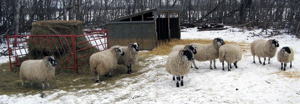 Winter Ewes.jpg