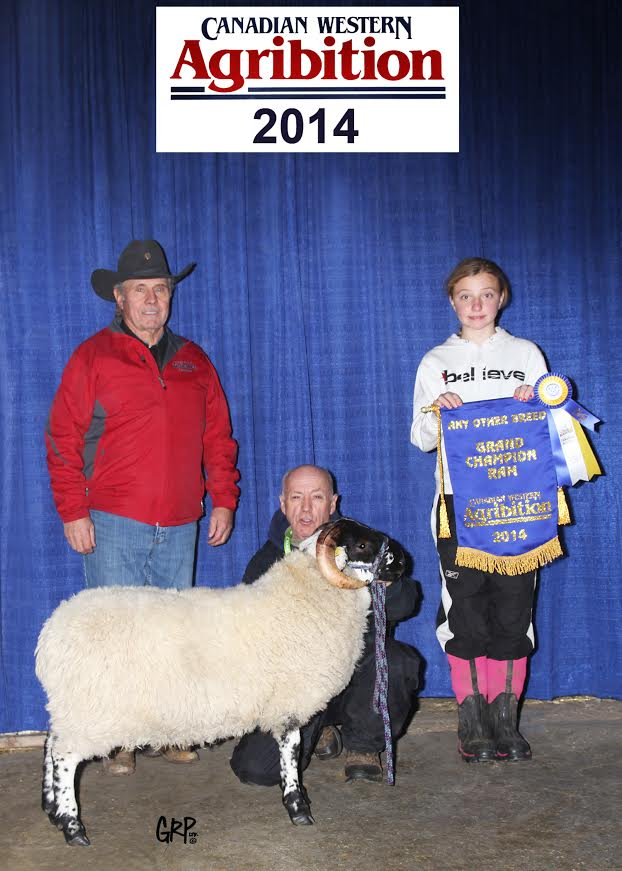 OSTARA GALLCHOBHAR 44B -[CAN]704312- (six-months-old) Click on Link to view pedigree Grand Champion and Reserve Grand Champion Ram Canadian Western Agribition - November 2014 - Regina, Saskatchewan Exhibited By: Braebank Stock Farm Pilger, SK Photo by: Grant Rolston Photography