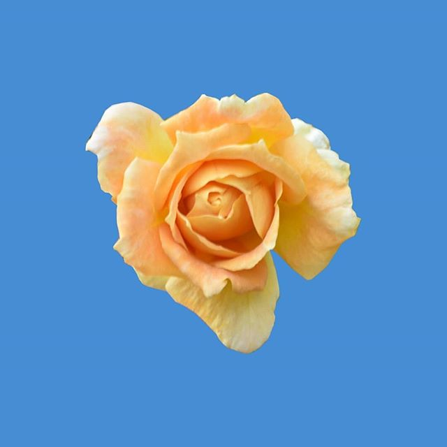 """One of the roses in an upcoming mixed media collage called """"Lucky"""", featuring more popsicles. ⠀⠀⠀⠀⠀⠀⠀⠀⠀ ⠀⠀⠀⠀⠀⠀⠀⠀⠀ ⠀⠀⠀⠀⠀⠀⠀⠀⠀ ⠀⠀⠀⠀⠀⠀⠀⠀⠀ ⠀⠀⠀⠀⠀⠀⠀⠀⠀ ⠀⠀⠀⠀⠀⠀⠀⠀⠀ ⠀⠀⠀⠀⠀⠀⠀⠀⠀ ⠀⠀⠀⠀⠀⠀⠀⠀⠀ ⠀⠀⠀⠀⠀⠀⠀⠀⠀ ⠀⠀⠀⠀⠀⠀⠀⠀⠀ ⠀⠀⠀⠀⠀⠀⠀⠀⠀ ⠀⠀⠀⠀⠀⠀⠀⠀⠀ ⠀⠀⠀⠀⠀⠀⠀⠀⠀ #fridayflowers #instabloom #orangerose #_flowersworld_ #_international_flowers_ #bestflowerspics #blooms #captures_flowers #fa_magical #flaming_flora #floral #flowermagic #flowers #fotofanatics_flowers_ #gr8flowers #inspiredbypetals #instabloom #instablooms #instaflower #instaflowers #mta_flowers #playingwithpetals #pocket_pretty #springblooms"""