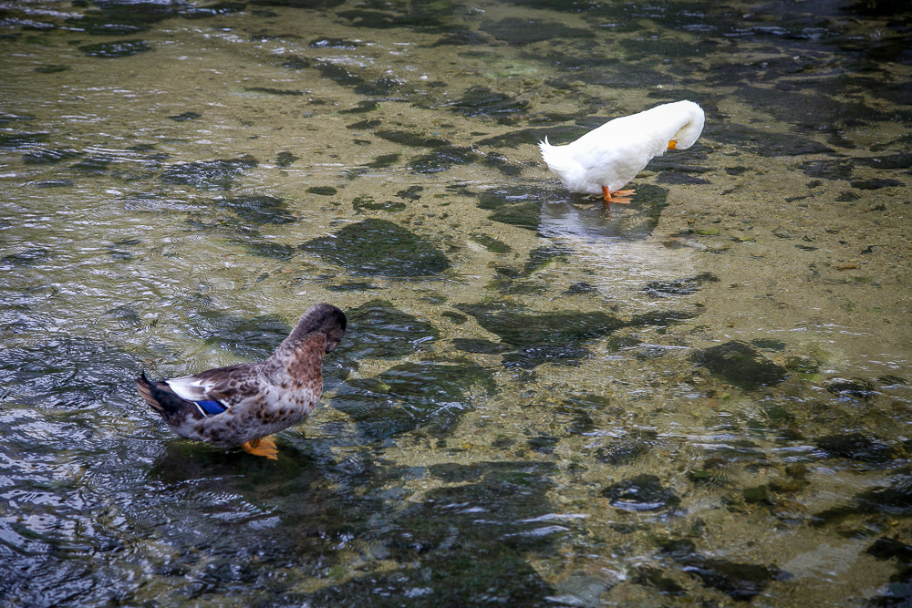 Ducks grooming themselves during autumn.