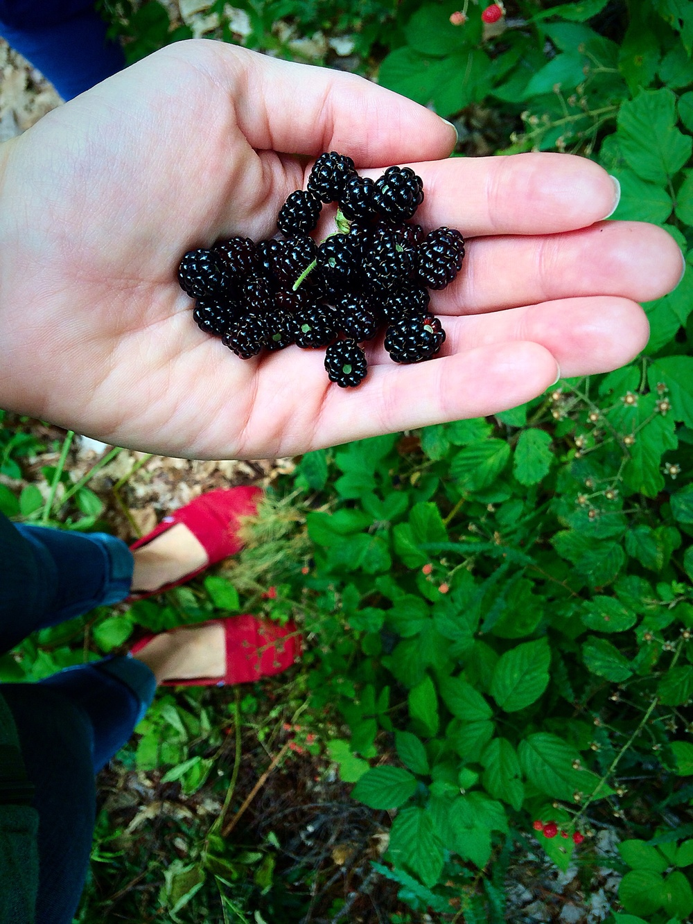 Foraging for wild blackberries