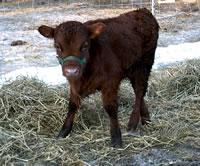 calfs 019s.jpg