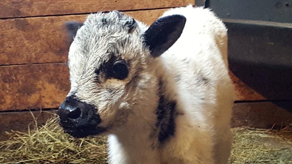Bull Calf DOB 3-2-2017-1.jpg