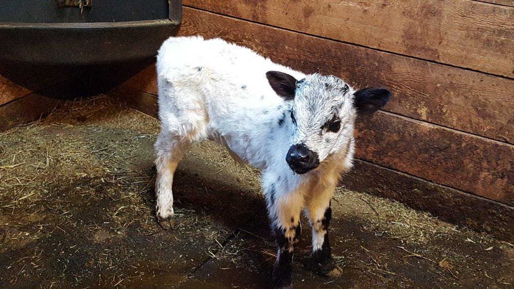 Bull Calf DOB 3-2-2017-2.jpg