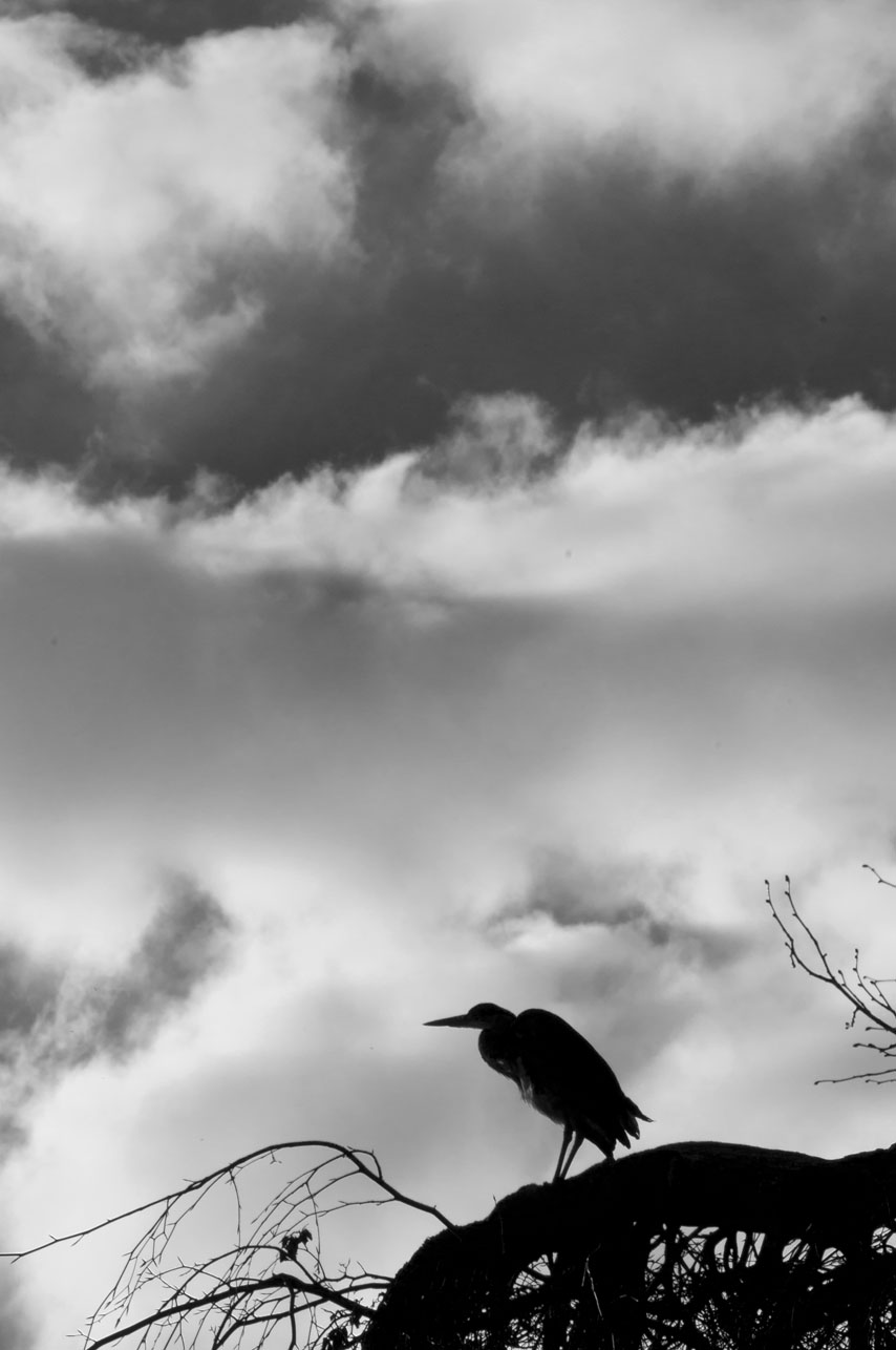 'Atop the Kissing Tree there sat a heron' (The first line to a poem I will never write..)