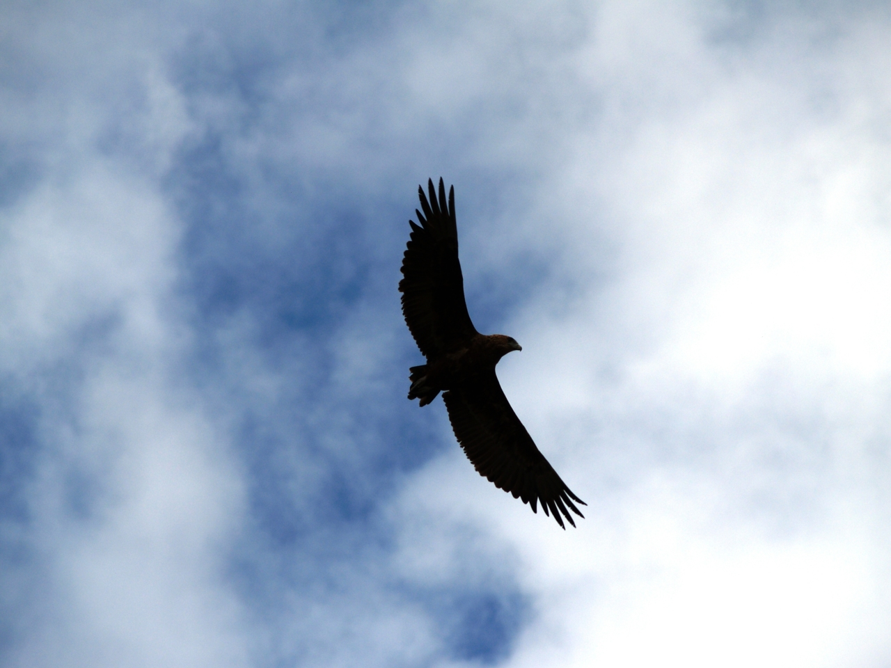 A juvenile Bateleur Eagle soaring above the bushveld in the Kruger National Park