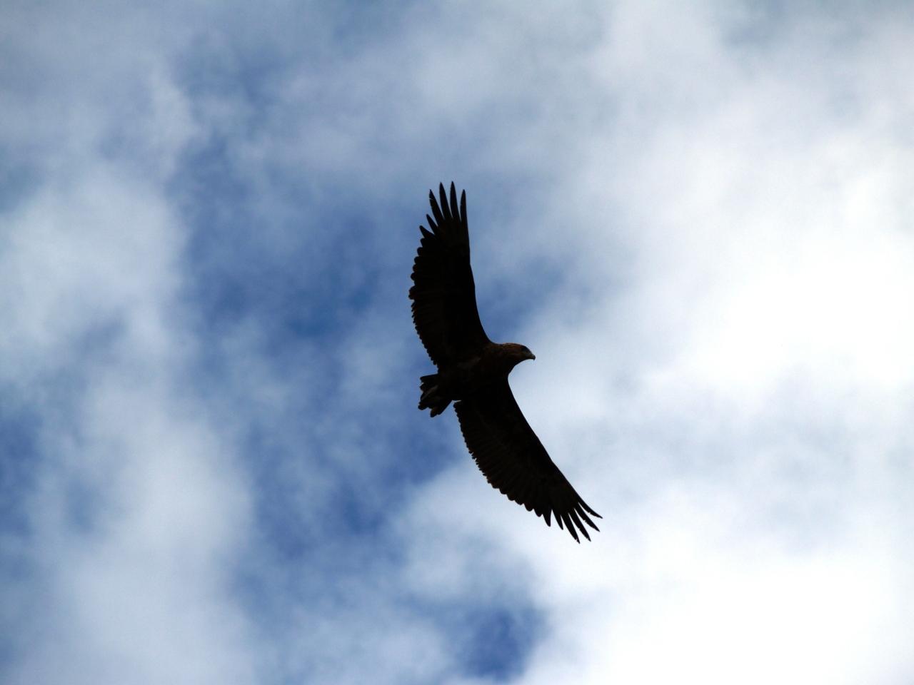 A juvenile Bateleur Eagle soaring above the bushveld in the Kruger National Park