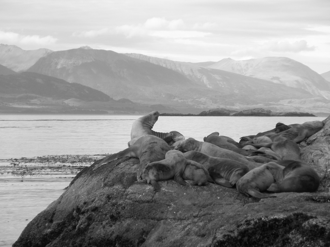 A knot of sea lions in the bay at Ushuaia, the Southern-most City in the world, in Patagonia, South America.