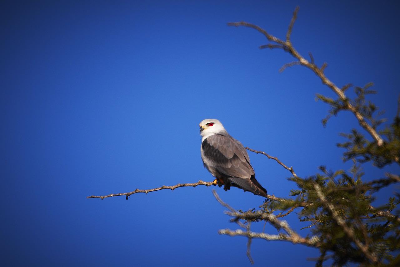 A Black-Shouldered Kite